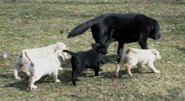 Labrador puppies in Pennsylvania